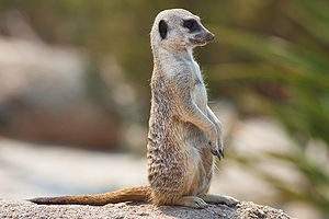 Meerkat 1 5 3 for Mac  Ftparmy com